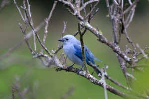 Blauer Vogel, Hacienda Combia