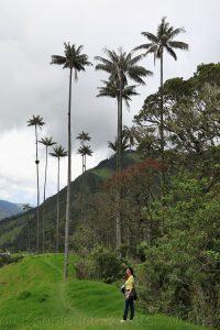 palma de cera (Ceroxylon quindiuense), Birgit Knoblauch