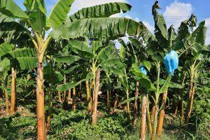 Bananenplantagen säumen die Küstenstraße