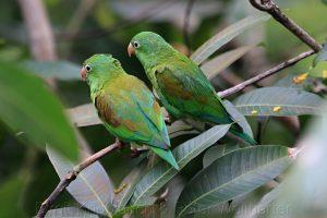 """""""Die Unzertrennlichen"""", die lovebirds (Agapornis)"""