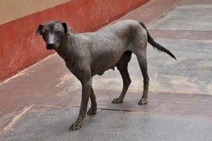 Peruanischer Nackthund, Peru