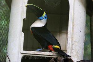 Tukan, Centro de Rehabilitación y Conservación de Animales de Silvestres, Amazonas, Peru