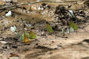 Schmetterlinge, Nationalpark Tambopata, Puerto Maldonado, Amazonas, Peru