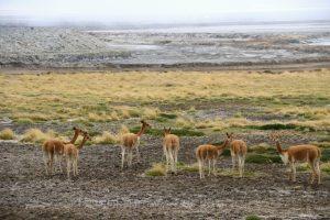 Naturreservat Salinas und Aguada Blanca, Anden, Peru