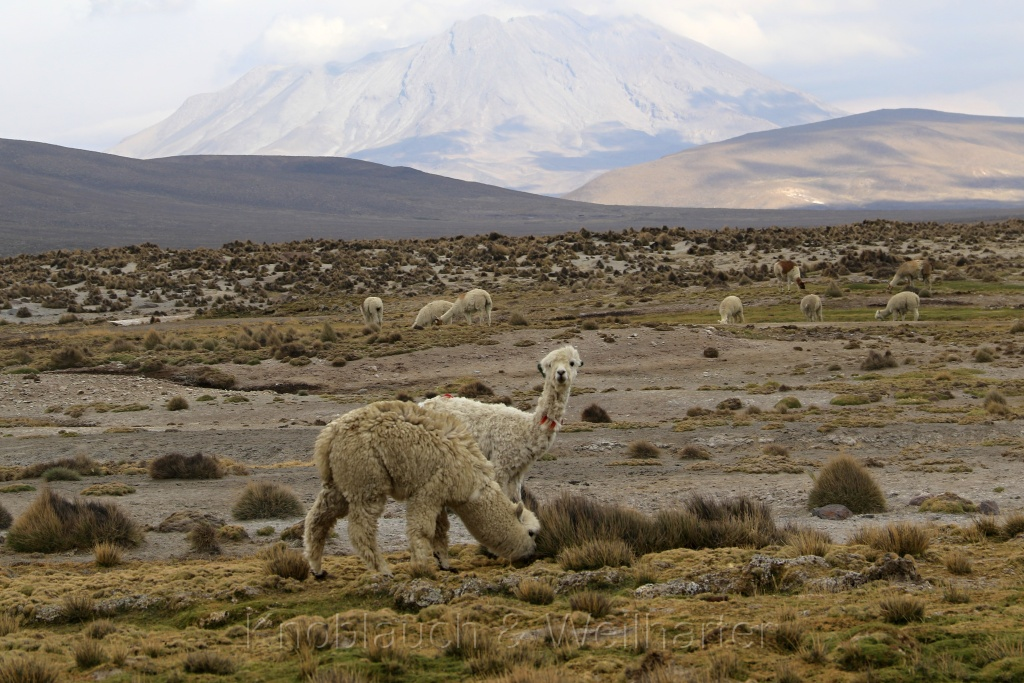 Nationalreservat Salinas und Aguada Blanca – ein Besuch bei den Alpakas