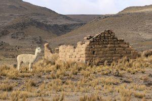 Alpaka (Vicugna pacos), Naturreservat Salinas und Aguada Blanca, Anden, Peru